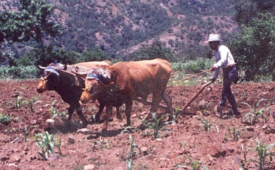 Plowing with oxen